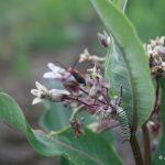 Asclepias syriaca senescing flowers