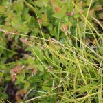 Carex lucorum