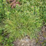 Carex lucorum June