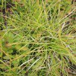 Carex lucorum leaves