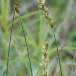 Carex scoparia end of May
