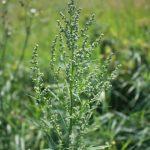 Chenopodium album flowering in August