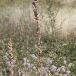 Chenopodium album showing black seeds