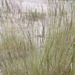 Festuca filiformis dark morph
