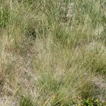 Festuca filiformis late June