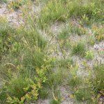 Festuca filiformis prune field
