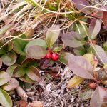 Gaultheria procumbens reddish leaves