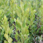 Gaylussacia baccata mowed plant