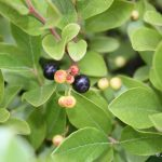 Gaylussacia baccata mature berries