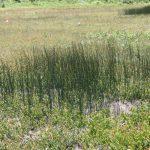 Juncus balticus end of June