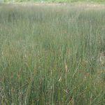 Juncus balticus colony