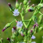 Lactuca biennis flower head