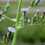 Lactuca biennis flower