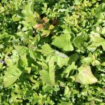 Lactuca biennis in mowed blueberry field