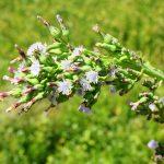 Lactuca biennis range of flower stages