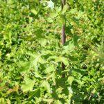 Lactuca biennis variable stem and leaves
