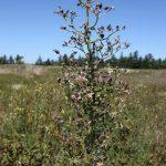 Lactuca biennis late August