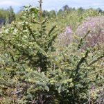 Picea glauca sapling