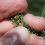 Picea glauca hairless twig