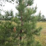 Pinus resinosa young tree