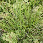 Piptatherum pungens leaves