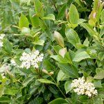 Viburnum nudum var cassinoides in flower, late June