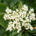 Viburnum nudum var cassinoides flowers