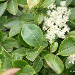 Viburnum nudum var cassinoides leaf arrangement