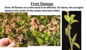 Picture of frost damage of blossoms, all flowers on a stem tend to be affected. On leaves, the youngest leaf in the center of the cluster have been killed.