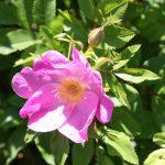 Rosa mid-July