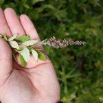Spiraea tomentosa inflorescence is narrow