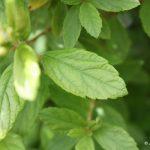 Spiraea tomentosa leaves