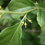 Celastrus orbiculatus flowers, late June