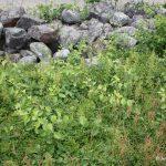 Celastrus orbiculatus on edge of blueberry field