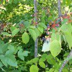 Cornus alternifolia ripe fruit,mid-August