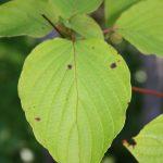Cornus alternifolia leaf detail