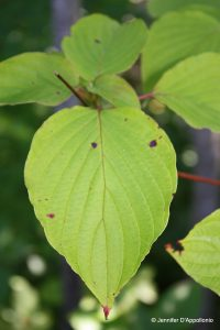 Cornus alternifolia leaf detail
