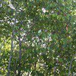 Cornus alternifolia on edge of blueberry field