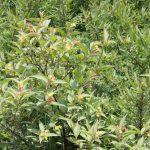 Diervilla lonicera bush