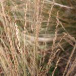 Festuca filiformis seedheads