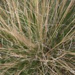 Festuca filiformis leaves