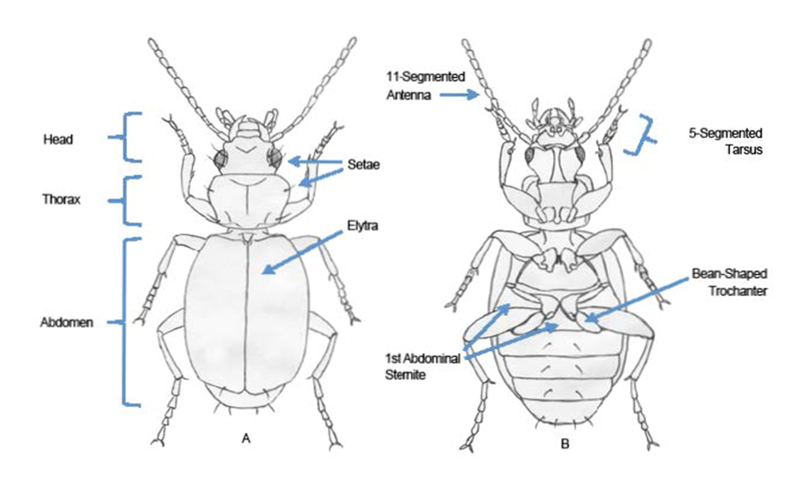 "Ground Beetle Morphology. A) Dorsal view. This is a generalized depiction of a ground beetle's body shape and features. Ground beetles exhibit variation at all levels of classification as to the number of setae (hairs) on their legs and body. They also vary in the pattern of striation (lines) on the elytra (wing covers). B) Ventral view. Features common to all ground beetles include 11-segmented filliform antennae, slender legs with 5-segmented tarsi (feet), and a ""bean-shaped"" trochanter adjacent to the coxa (where the leg attaches to the body wall) and hind leg."