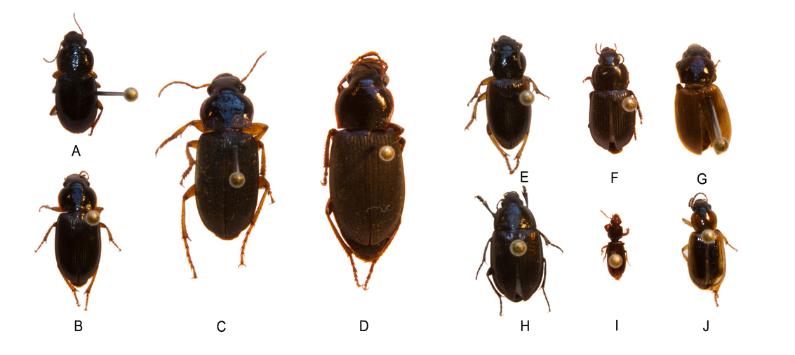 Figure 1: Granivores: A-B) Harpalus spp. (spp. refers to several species); C) Harpalus rufipes; D) Harpalus sp. (sp. refers to an unidentified species); E-G) Anisodactylus spp.; H) Amara sp.; I) Clivinia sp.; J) Stenolophus sp.