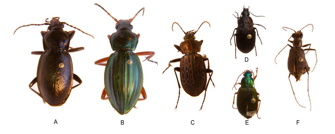 Figure 3: Generalist Carnivores: A) Carabus nemoralis; B) Carabus auratus; C) Carabus meander; D) Chlaenius tomesntous; E) Chlaenius sericeus; F) Cicindela sp.