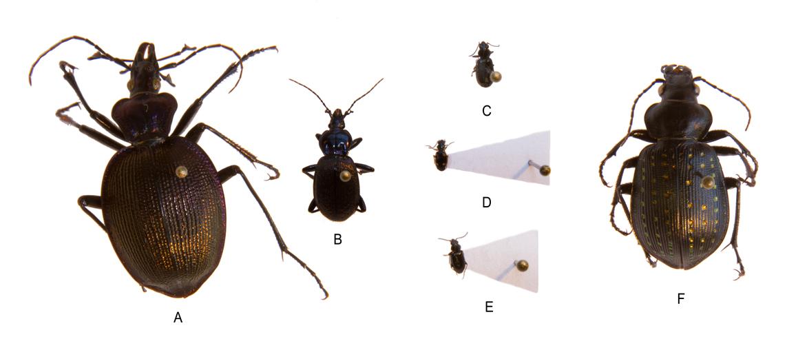 Figure 4: Specialist Carnivores: A) Scaphinotus viduus; B) Spaeroderus sp.; C) Bembidion sp; D) Bembidion quadrimaculatum; E) Bembidion sp.; F) Calosoma calidum.