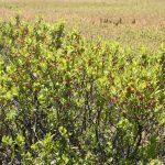 Gaylussacia baccata unmowed plant