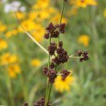 Scirpus hattorianus late July