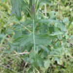 Lactuca biennis example of leaf shape