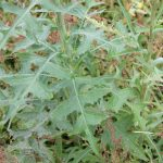 Lactuca species comparison