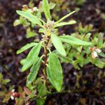 Kalmia angustifolia seedling
